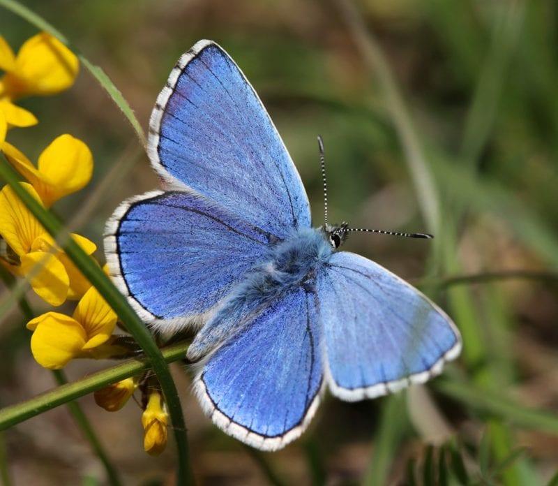 Adonis Blue, credit Allen Beechey