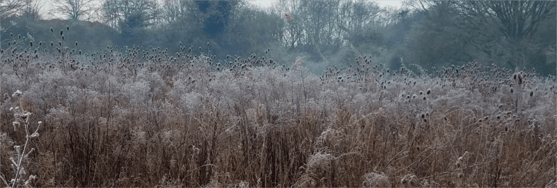 Colne Valley Wetlands – teasel field