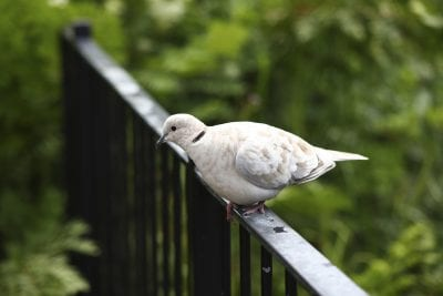 Collared dove Streptopelia decaocto, adult perched on railings, Scotland, July