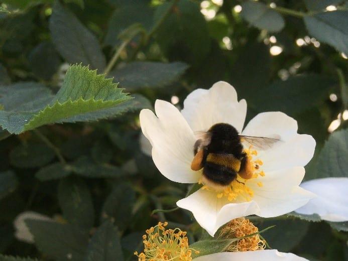 Bumblebee in a garden rose. Photo: Bucks Buzzing.